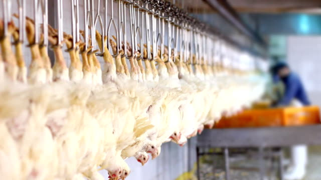 Food processing factory, chicken meat video