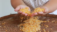 HD footage Corn grains in the hands. video