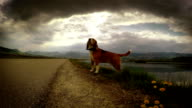 1080 HD footage: Lightning strikes while beagle's on the walk video