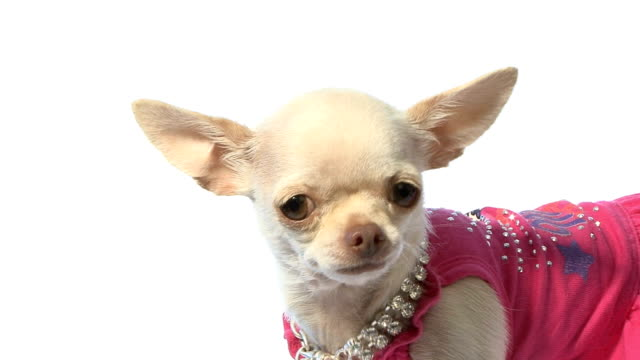 HD Footage of a dressed chihuahua video