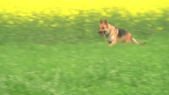 footage of a German Shepherd running video