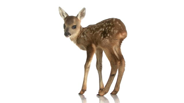 HD footage of a roe deer Fawn video