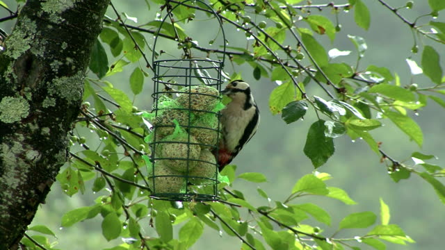 footage of Great Spotted Woodpecker eating at a trough video