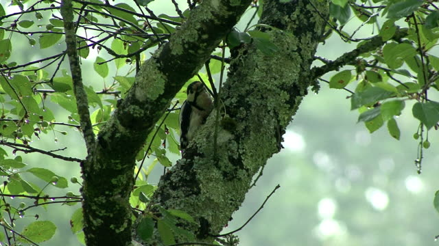 footage of Great Spotted Woodpecker hiding himself video