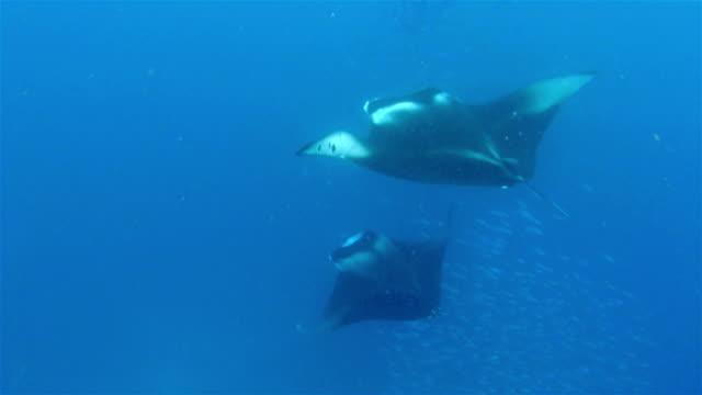 Foraging Manta Ray feeding plankton on Maldives video