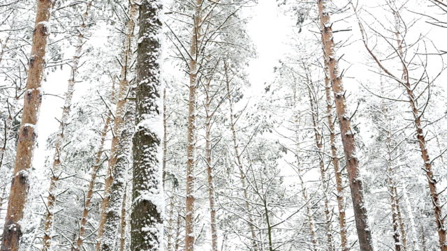 Forest after snowfall. Winter landscape. video