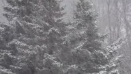 Forest and spruce trees in winter in a heavy snow fall. video
