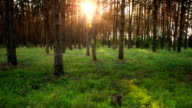 Forest at dawn. Timelapse. video