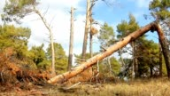 forest broken tree pine tops in blue nature sky felling of timber logs landscape video