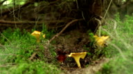 Forest Chanterelle Mushrooms video