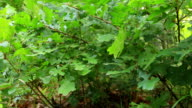 Forest detail, with young oak trees (Quercus petraea) video