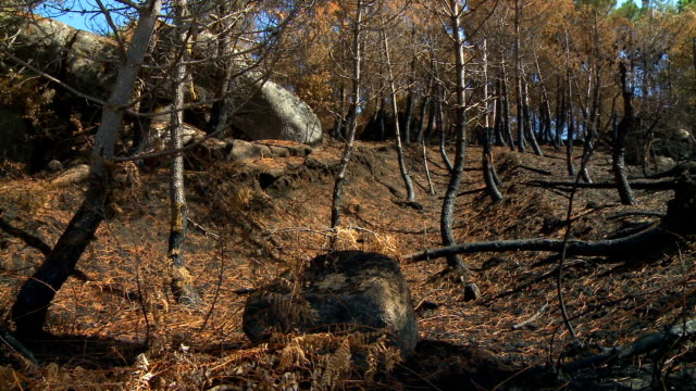 Forest fire burned trees video
