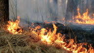 Forest fire in pine stand video