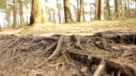 Forest floor with roots (glide) video
