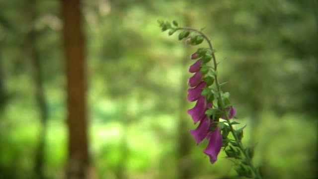 Forest foxglove video