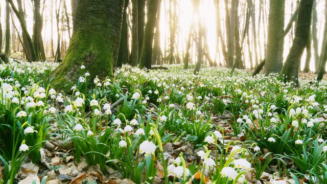 HD DOLLY: Forest Full Of Spring Snowflakes video