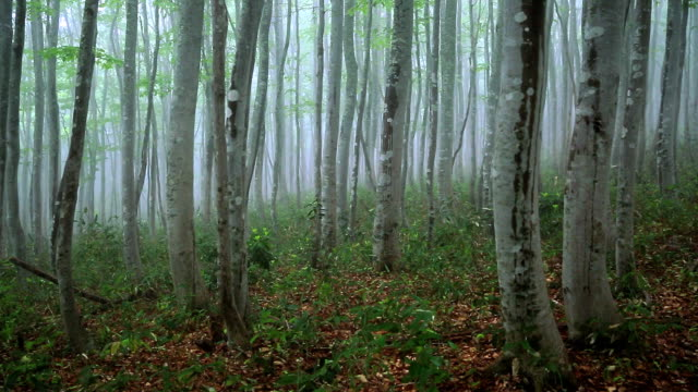 forest in the mist video