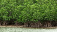 Forest of a Mangrove in Iriomote island,Okinawa,Japan video