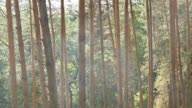 forest of pines in the summer slow motion video video