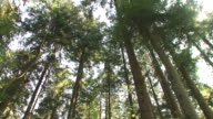 HD: Forest panning video