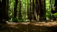 A Forest Tree Bed Deep In The Redwoods of California. video