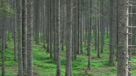 AERIAL Forest understory layer with straight spruce trees video