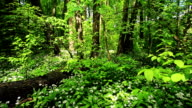 Forest with ramson video