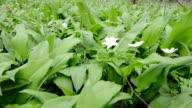 forest with wild garlic (Allium ursinum) plants video