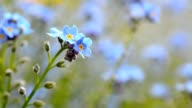 Forget me not flower video