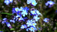 Forget-Me-Nots video