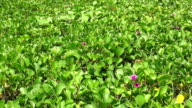 HD Format : Big green leaves moving in the wind. video