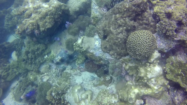 HD Format : Coral bleaching occurs when sea surface temperatures rise causing the symbiotic zooxanthellae within the coral polyps to be expelled. Without zooxanthellae the corals look white or pastel in color. video