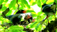 Formosan Blue Magpie video