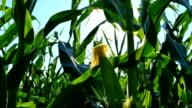 Forward Corn Husk HD video