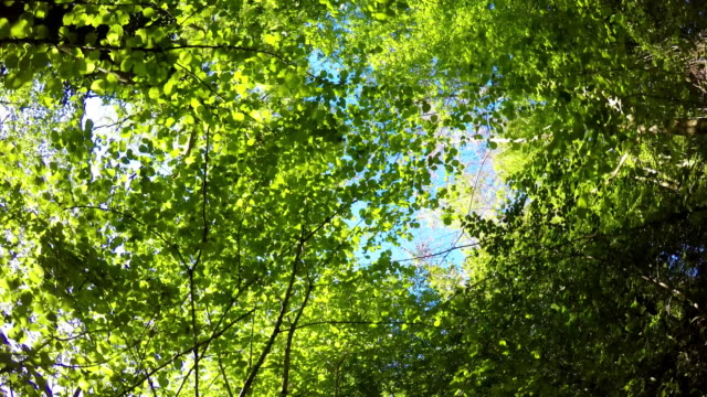 forward pov walking in wild woods looking up the trees and leaves. hiking or trekking adventure in outdoors green nature forest with filtering sun light in sunny summer day.4k point of view video video