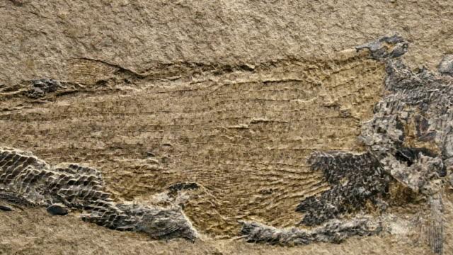 Fossil & Ammonite close up panning shot video