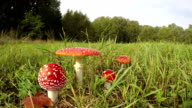 Four Amanita muscaria growing in field, time lapse video