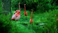 Four American flamingo in the forest video
