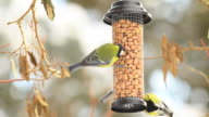 Four Great Tits on a bird table video