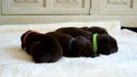 four newborn brown labrador retrievers video
