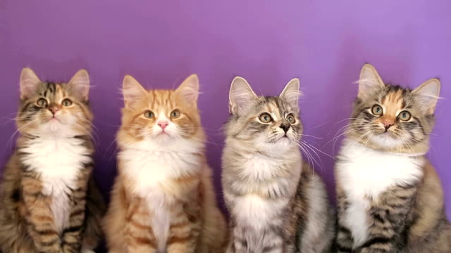 Four of the Siberian breed kittens on purple background. video
