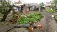 Four videos of free range chickens video