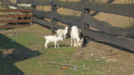 Four videos of goat family in 4K video