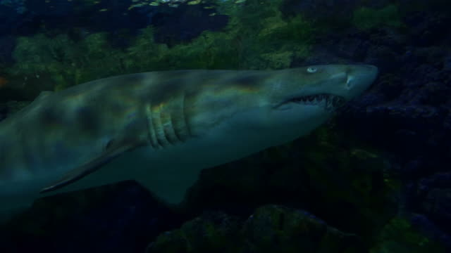 Four videos of sharks in 4K video