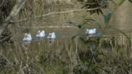 Four White Ducks Swimming Towards The Camera video