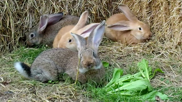 Four Young Flemish Giant Rabbits Playing in Garden video
