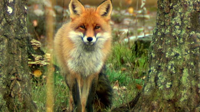 Fox. Autumn video