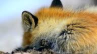 Fox rests. video