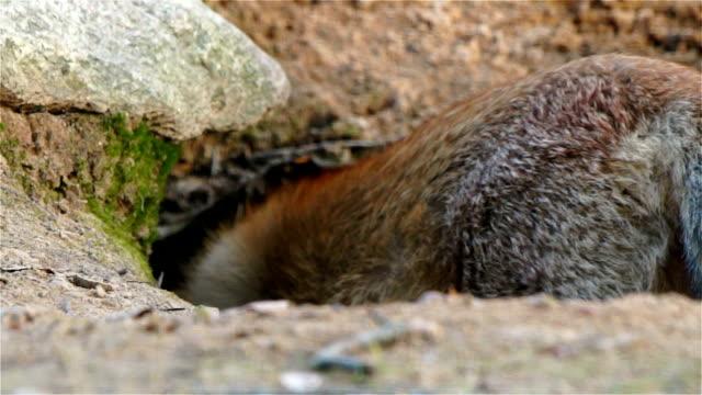 Fox runs into the burrow video