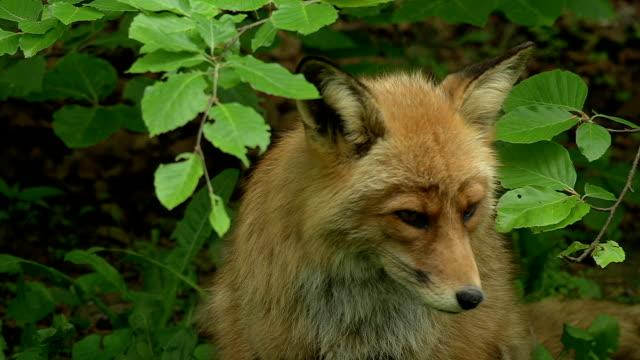 fox video